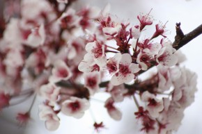 Plum blossoms.pg