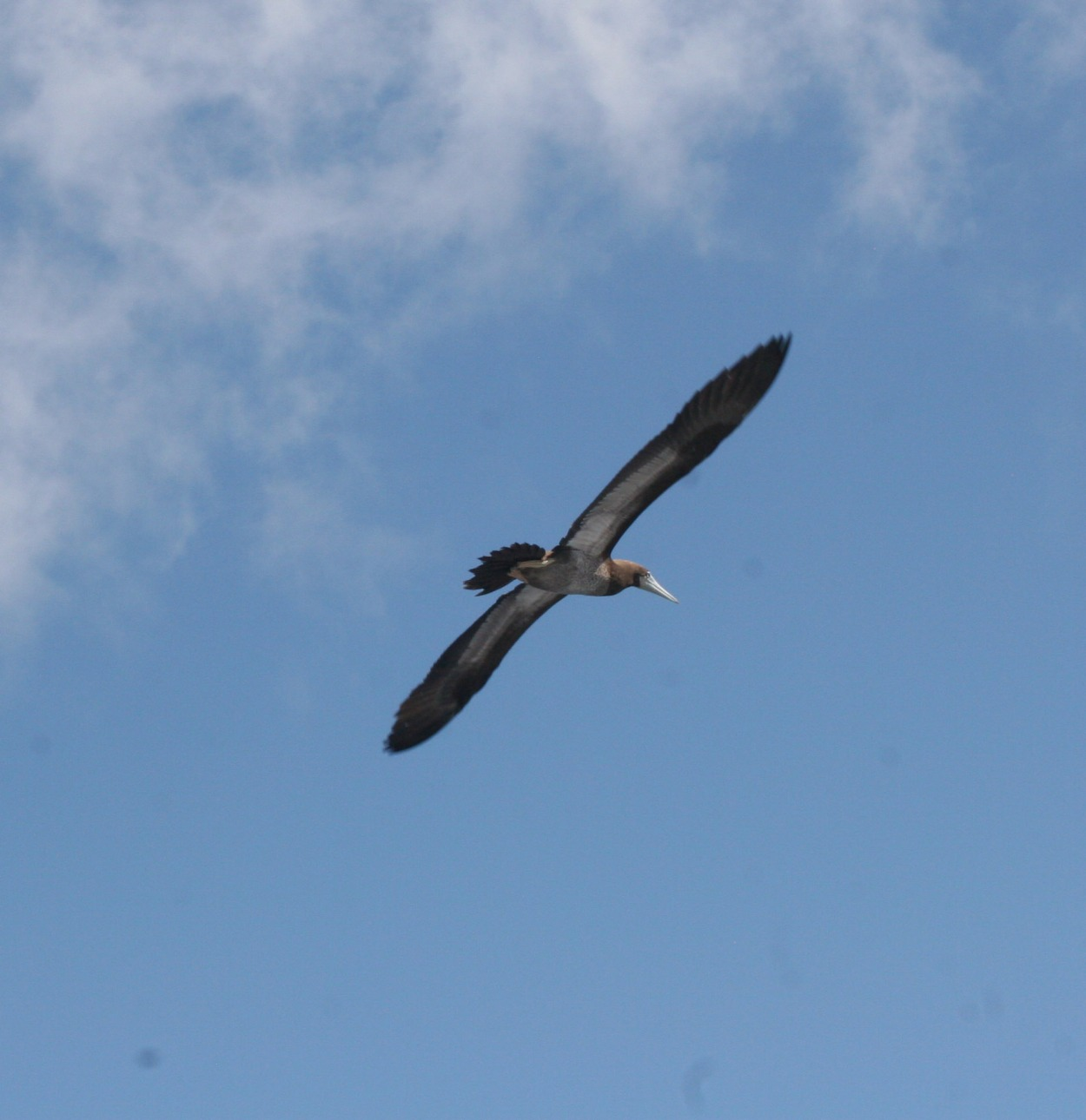 flying booby, Napoli coast