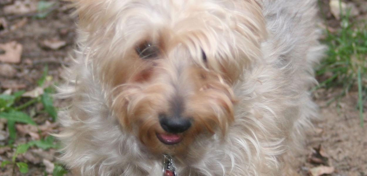 Silkey terrier, dog