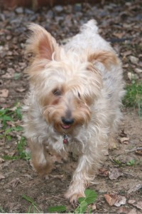Silkey terrier, outside trotting