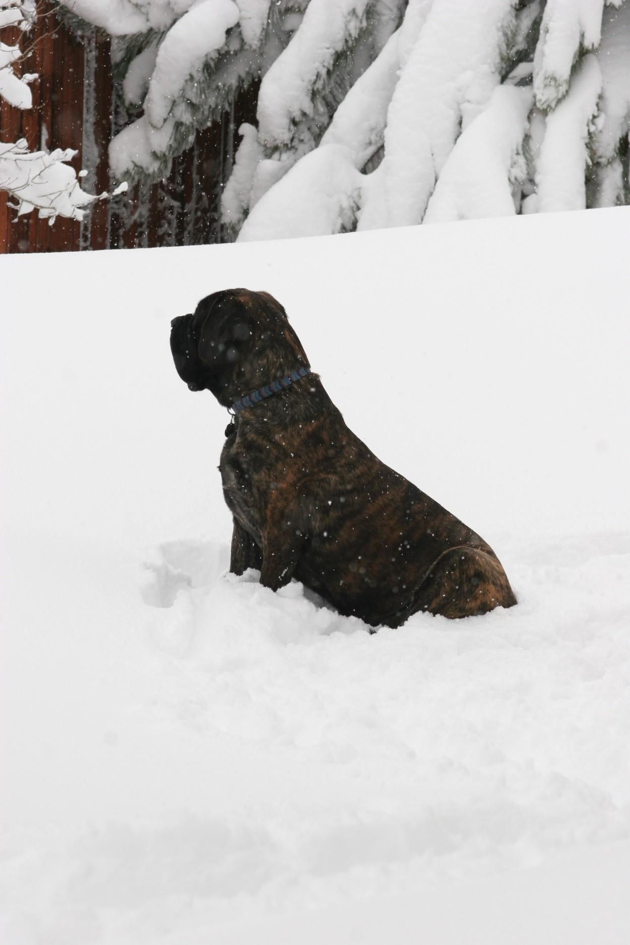 mastiff, dog