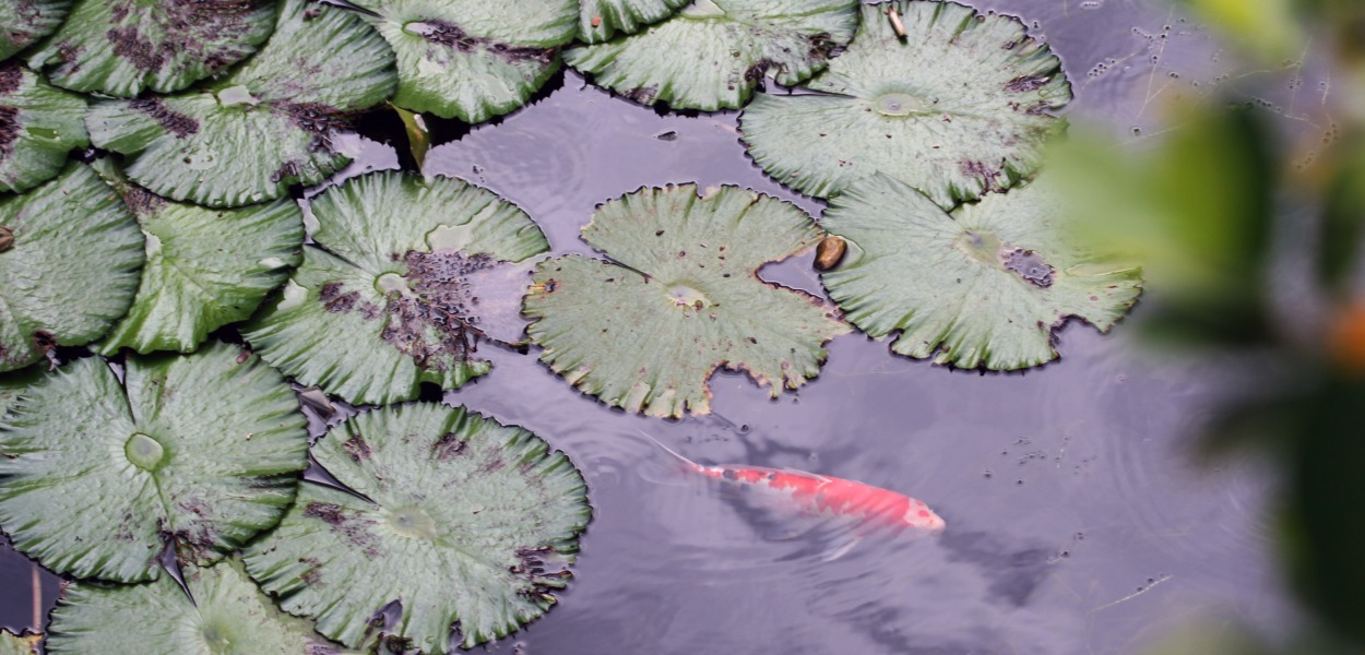 Koi, water lily pond