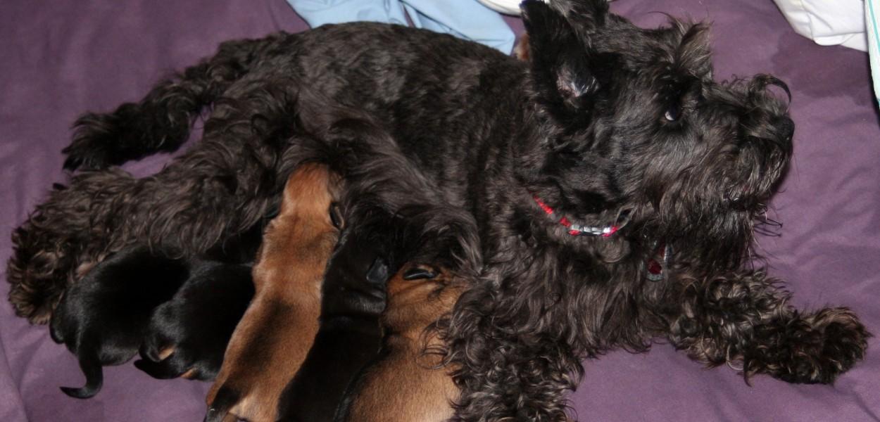 Auffenpinscher/Schnauzer mix, black dog, puppies