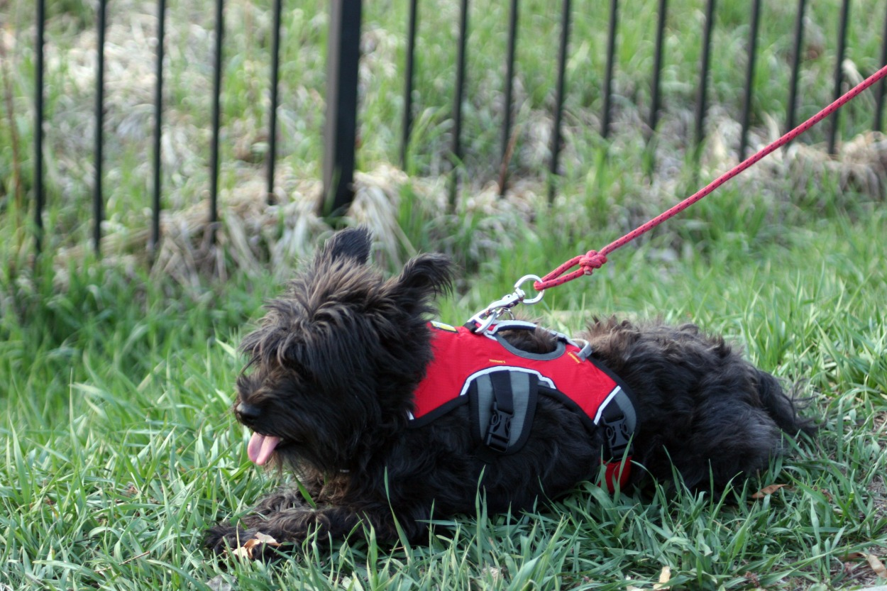 Auffenpinscher/Schnauzer mix, black dog, walking harness
