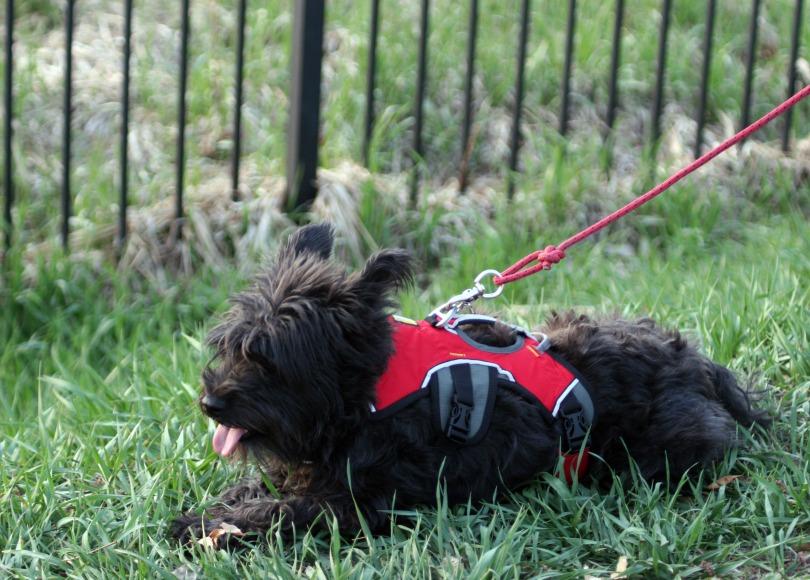 Auffenpinscher/Schnauzer mix, black dog, walking harness