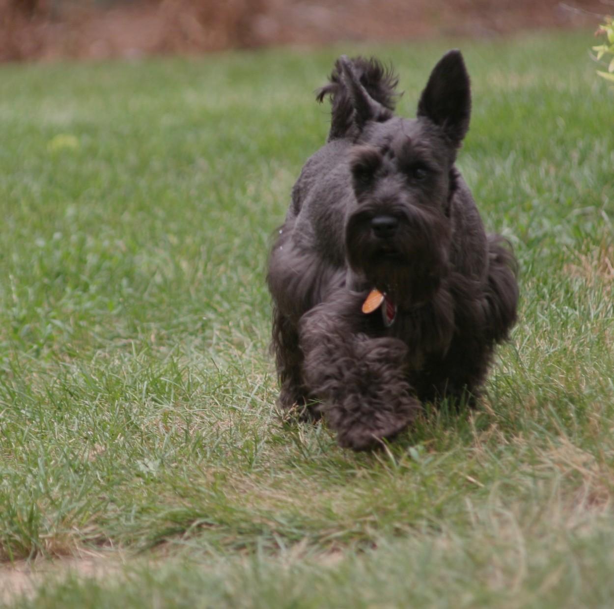 Auffenpinscher/Schnauzer mix, black dog,
