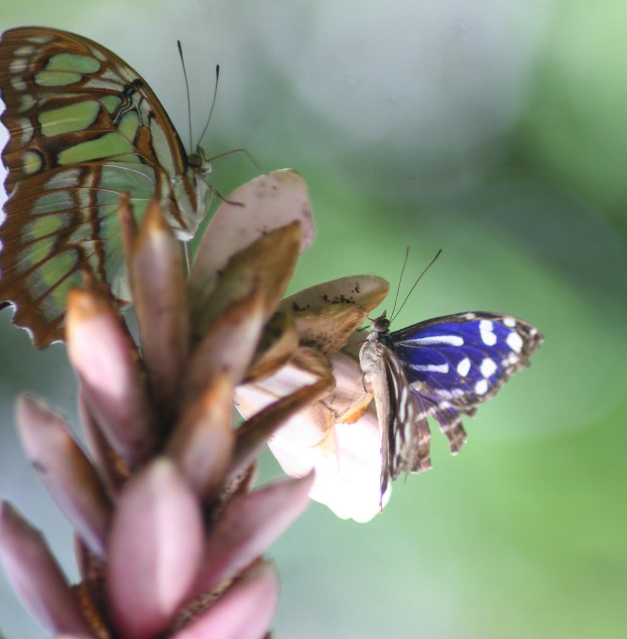 green butterfly, purple butterfly