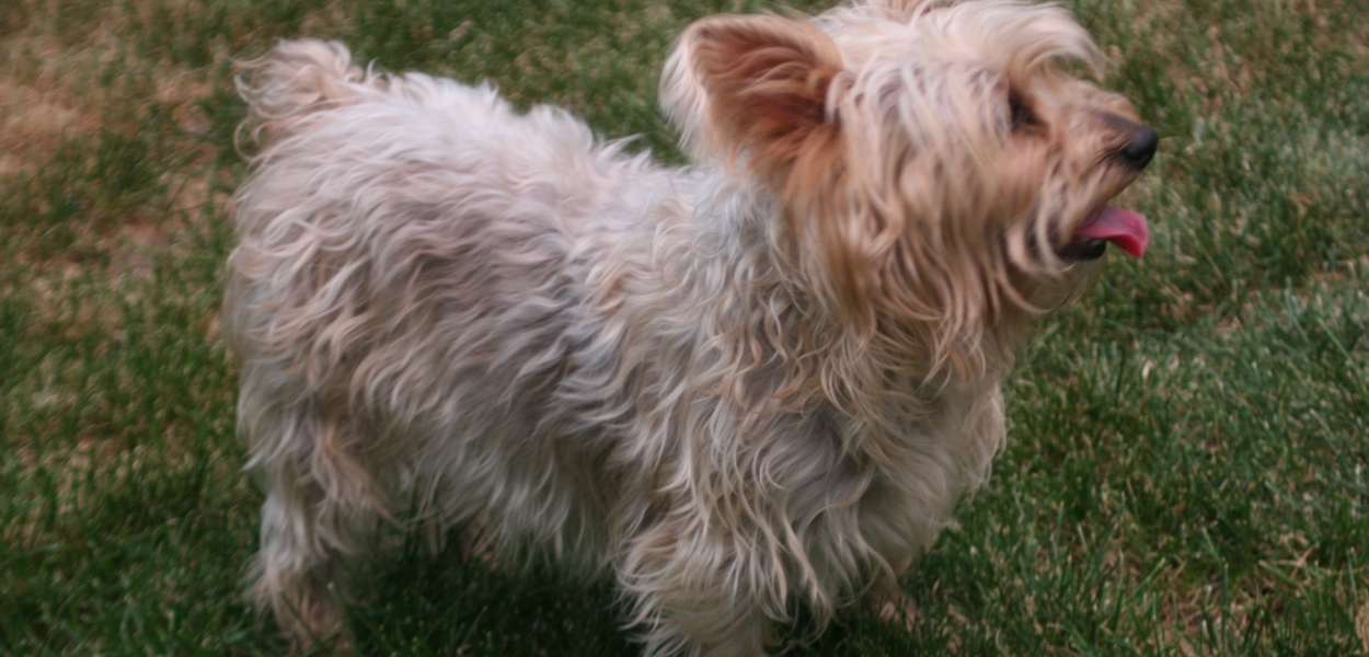 Silky Terrier, dog