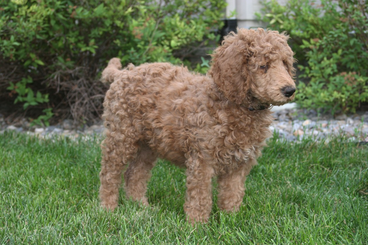 Standard Red Poodle, dog