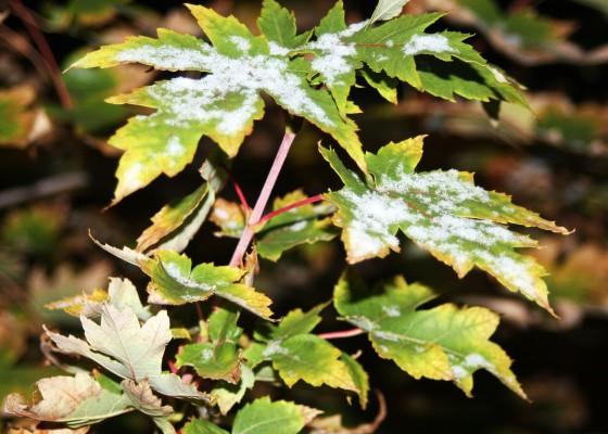 snow, maple leaves