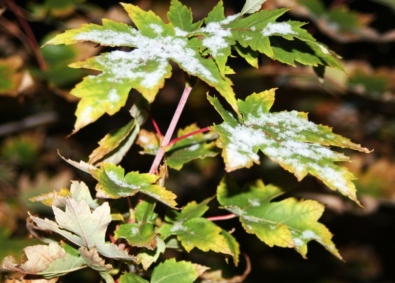 snow, maple leaves