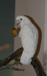Our Goffin's Cockatoo eats a banana. Originally wild-caught 30 or so years ago, he didn't recognize bananas as food unless they were in the peel.