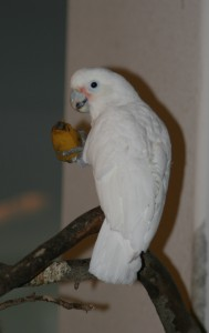 Goffin's Cockatoo, Tanimbar Cockatoo, Cacatua goffini, white parrot, parrot eating a banana
