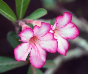 Allerton unidentified flower 12 cropped