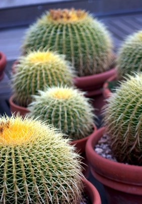 Barrel cactus are prickly - like an argumentative mood