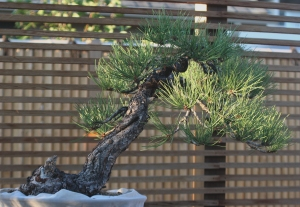 My husband likes Bonsai trees, but he stands tall (in spirit and body) like a huge oak.