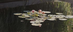 pink waterlillies 7