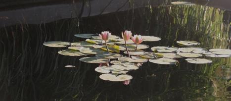 pink waterlillies 7