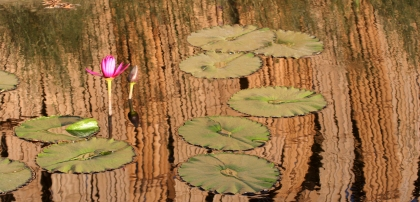 pink waterlillies with bamboo reflection