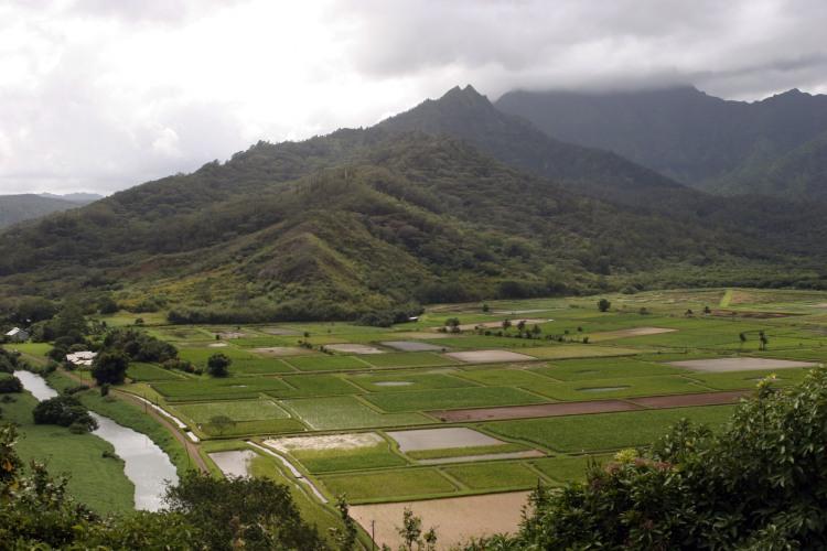 Taro fields 7