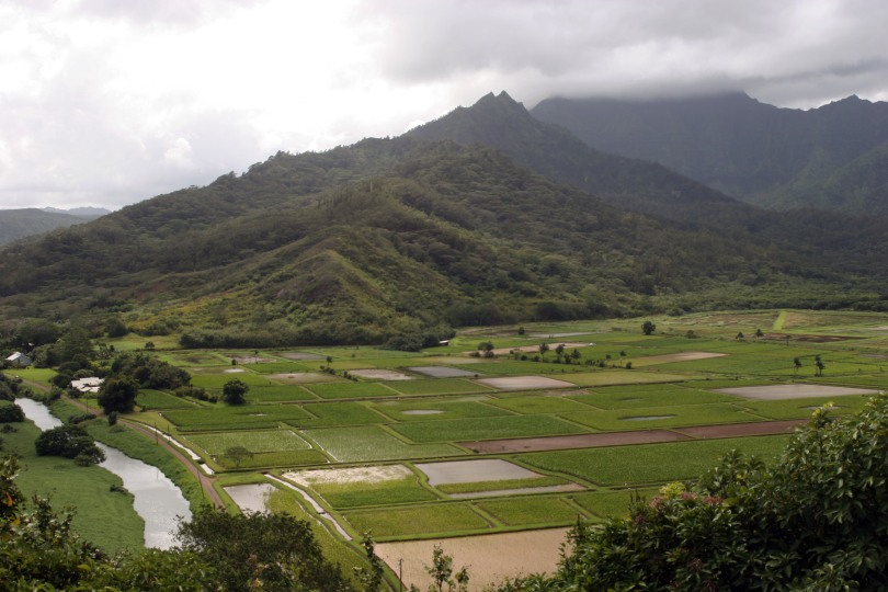 Taro fields 7