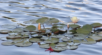 white waterlillies 1
