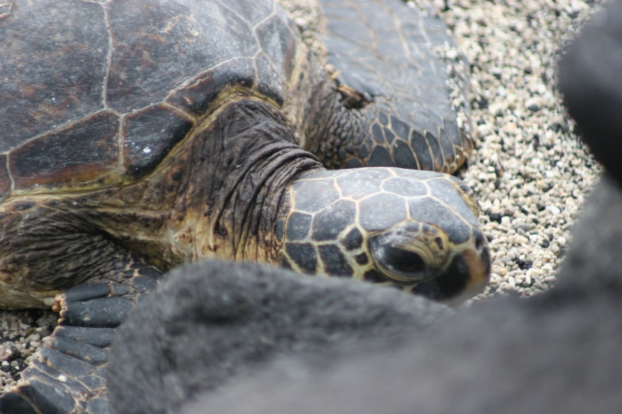 Place of Refuge dieing sea turtle 1