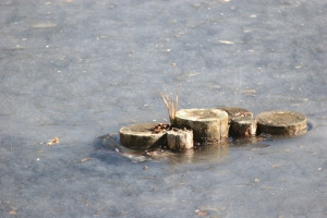 stumps, frozen pond