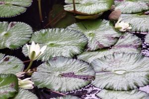 Allerton Gardens, water lillies, Kauai