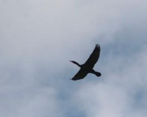 flying cormorant