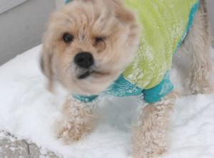 Schnauffen Peagle, schnauzer-auffenpinscher-poodle-beagle mix dog, dog, black and tan shaggy dog, snow
