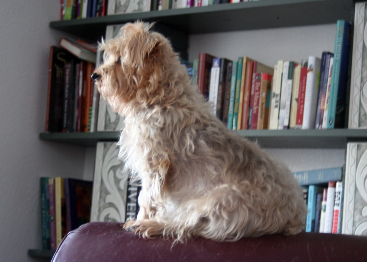 Silky Terrier, dog with books