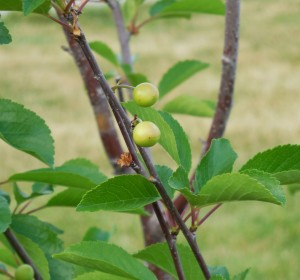 We won't have apples this year, but look at our baby cherries!