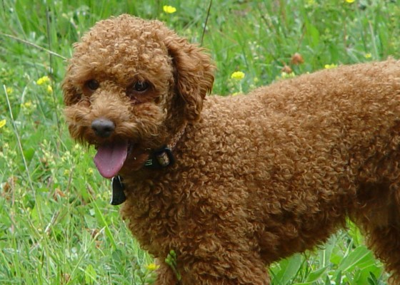 miniature red poodle, dog