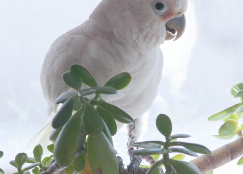 Goffin's Cockatoo, Tanimbar Cockatoo, Cacatua goffini, white parrot