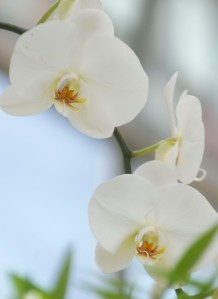 white orchids 3 blossoms