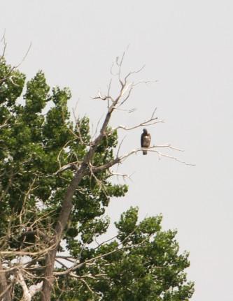 Juvenile Eagle -- an individual