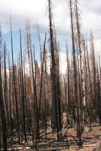 chared trunks left behind by forest fire