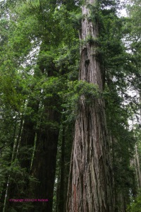 beautiful redwood trees