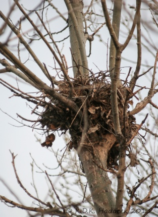 When this nest was no longer needed -- outgrown by the birds and grown chics - they moved on.