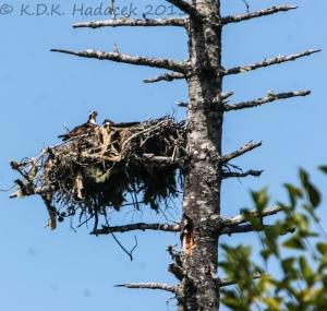 nest, osprey