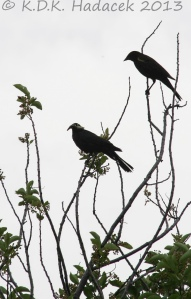 red-winged blackbird silouettes