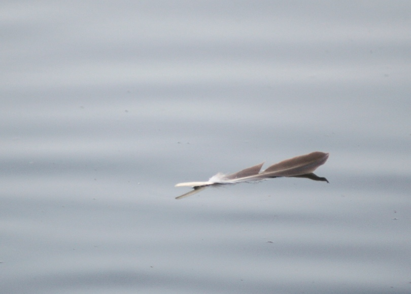 feather, water