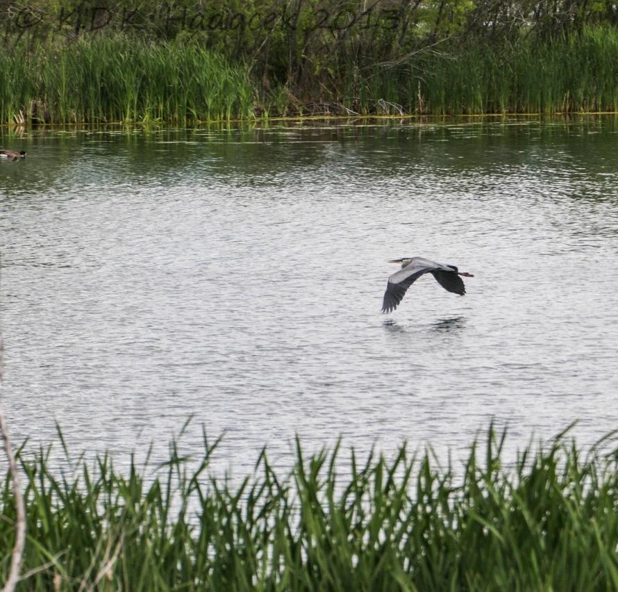Heron flying low 2 CW