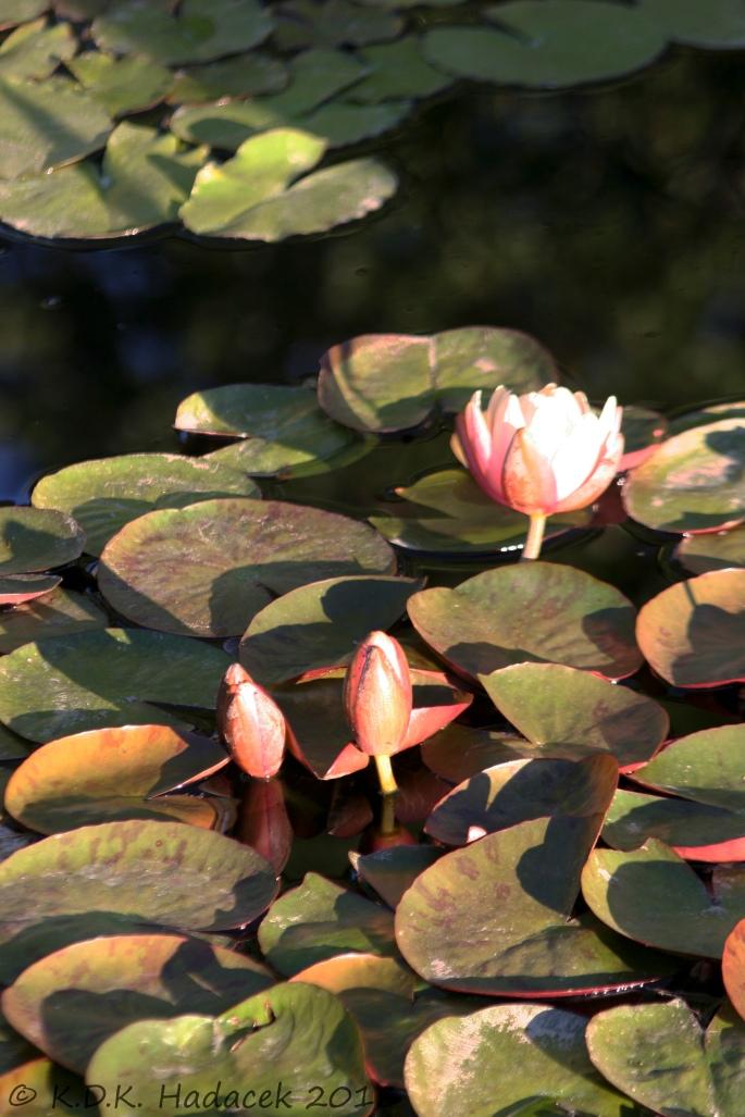 pink waterlillies 4 CW