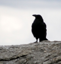 Raven, Yellowstone City, Idaho