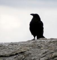 Raven, Yellowstone City, Idaho