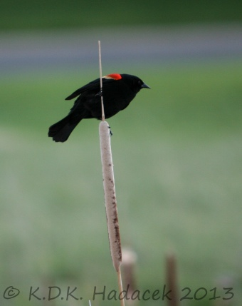 Redwing blackbird on a catail 1 CW