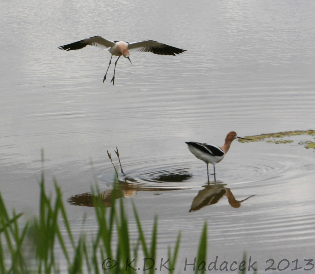 Avocets, landing bird, flying bird, wading bird