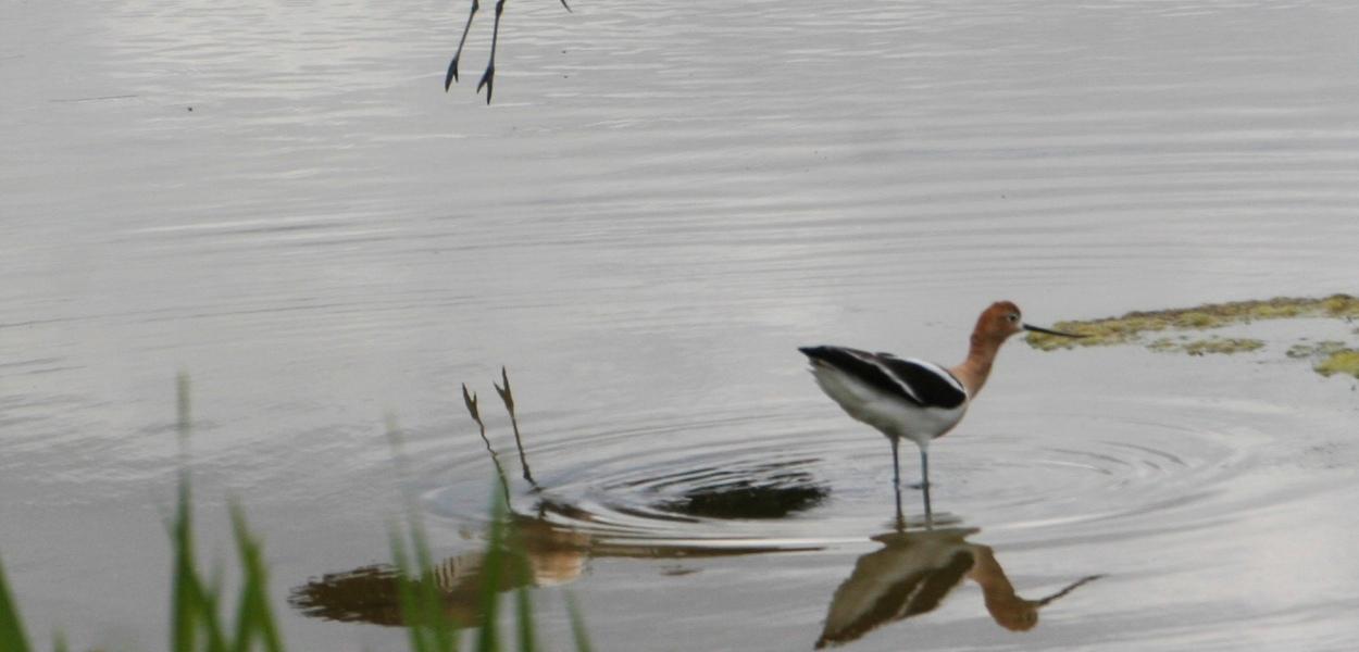 Avocets, landing bird, flying bird, wading bird